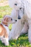 Malla, Kromfohrländer puppy,  meets Bonnie