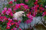 Tommelise roses