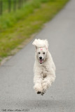 Bonnie, the flying poodle :o)