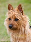 Lilly, australisk terrier.