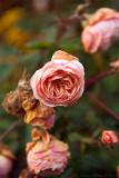Roses in November