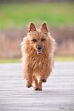Lilly, the Australian terrier.