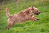 Lilly, Australian terrier