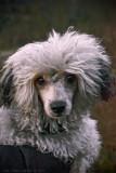 Viggo, Chinese Crested Powderpuff