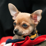 Linus, the chihuahua puppy in his limo, an old shoulderbag with his blankie.