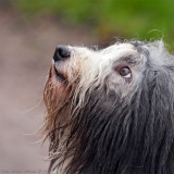 I knew it! Bearded collies do have eyes under all that fur ;o)