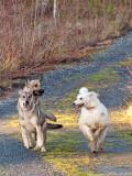 Bonnie, exercising the pups!
