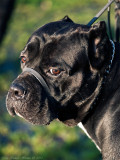 Jago, Italian Mastiff (Cane Corso)