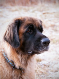 8/1 Molly, leonberger