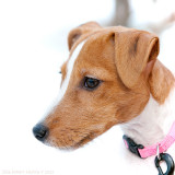 Nellie, rough-coated Jack Russell terrier, 12 weeks old.