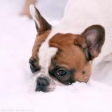 Sookie, French Bulldog