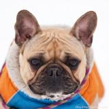 Sol, French Bulldog