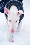 Holly, Bullterrier puppy