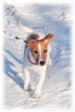 Nellie, 15 weeks old roughcoated Jack Russell terrier.