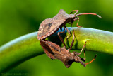 25/5 Love is in the air... For stinkbugs