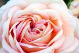 Alchymist rose