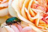 Rose chafer - Cetonia aurata
