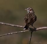 IMG_8237 lark sparrow.jpg