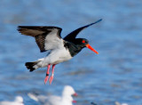 Pied Oystercatcher                 (banding records show this bird to be at least 19 years old)