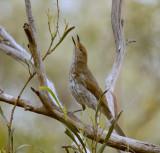 Grey Shrike-thrush (juvenile begging)