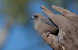 Dusk Woodswallow