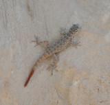 1. Rock Semaphore Gecko - Pristurus rupestris