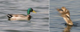 Anatidae - ducks, geese and swans (family): 19 species