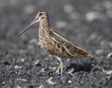 3. Common Snipe - Gallinago gallinago