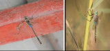 Aeshnidae (family of dragonflies): 3 species