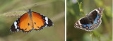 Nymphalidae (family of butterflies): 6 species
