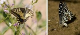 Papilionidae (family of butterflies): 2 species