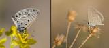 Lycaenidae (family of butterflies): 11 species