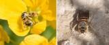 Halictidae - Sweat Bees (family): 8 species