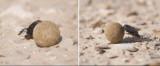 Scarabaeidae - Scarab Beetles (family): 2 species