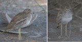 Burhinidae - stone curlews, thick-knees (family): 1 species