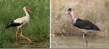 Ciconiidae - storks: 1 species