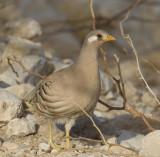 1. Sand Partridge - Ammoperdix heyi