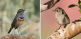 Muscicapidae - chats, old world flycatchers (family): 30 species