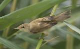 5. Eurasian Reed Warbler - Acrocephalus scirpaceus
