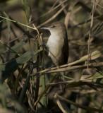 1. Clamorous Reed Warbler (Indian), Acrocephalus (stentoreus) brunnescens