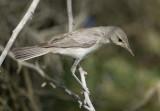 8. Eastern Olivaceous Warbler - Iduna pallida
