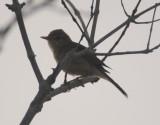 7. Sykes's Warbler - Iduna rama