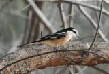 10. Masked Shrike - Lanius nubicus