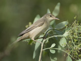 6. Marsh Warbler - Acrocephalus palustris
