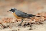 3. White-throated Robin - Irania gutturalis