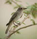 1. Spotted Flycatcher - Muscicapa striata
