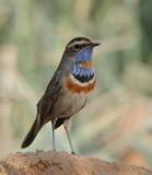 5a. Red-spotted Bluethroat - Luscinia svecica [svecica-group]