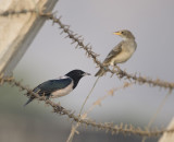 4. Rose-coloured Starling - Pastor roseus (both; an adult and a juvenile)