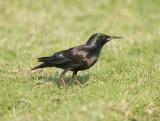 5. Common Starling - Sturnus vulgaris