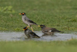 2. Common Myna - Acridotheres tristis (in focus, right) with 1. Bank Myna - Acridotheres ginginianus